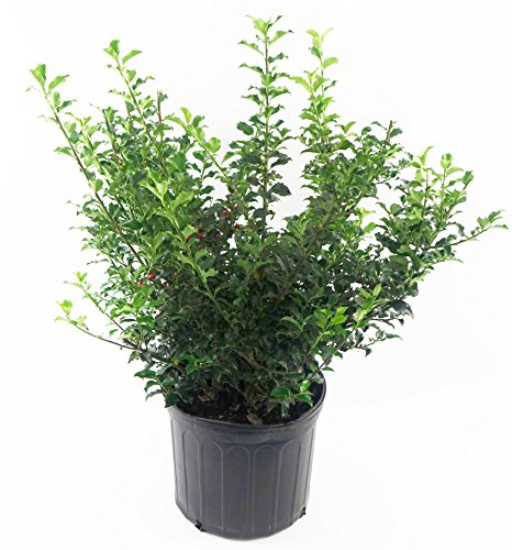 Blue Princess Holly, green leafed evergreen plant in 2 Ga...