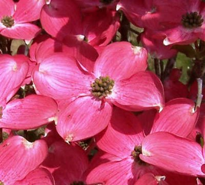 Red Dogwood Tree by Brighter Blooms (Image #1)