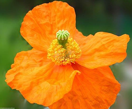 - 100 Poppy Flower Seeds Everblooming Atlanticum