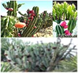 1,000 x PERUVIAN APPLE CACTUS - Cereus repandus SEEDS - Fig Cactus - EDIBLE FRUITS High In Vitamins and Antioxidants - Night Blooming