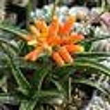 Aloe firebird hybrid Cactus Cacti Succulent Real Live Plant