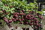 10 Seeds Akebia Quinata Seeds- Chocolate Vine, Raisin Vine, Five-leafed Akebia !