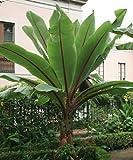 10 Fresh Ensete Ventricosum False Abyssinian Banana