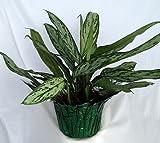 Silver Queen Plant – Aglaonema – 6″ Pot/Decorative Pot Cover unique from jm bamboo For Sale