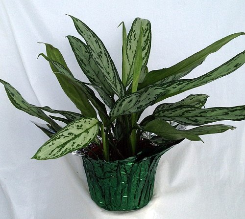 "Silver Queen Plant - Aglaonema - 6"" Pot/Decorative Pot Cover unique from jm bamboo"