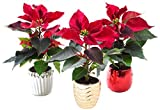 """KaBloom Holiday Collection: Set of 3 Mini Fresh Red Poinsettia Plants (8-11 inches Tall) in 3-Inch Metallic Ceramic Pot  """