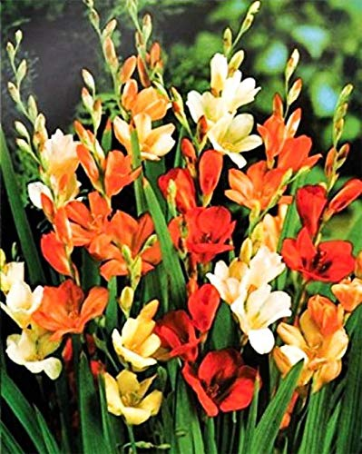 PLANTOGALLERY Imported Winter Flower Bulbs Indoor/Outdoor Rare Variety (20 Bulbs Tritonia Multi-Colour) (B07YDSVWRP) Amazon Price History, Amazon Price Tracker
