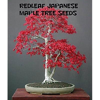 10 Redleaf Japanese Maple Tree Seeds : Garden & Outdoor