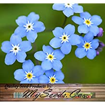 4 Packs x 1,000 FRENCH FORGET ME NOT - Myosotis sylvatica Flower Seeds - PERENNIAL ZONE 3-9 - By MySeeds.Co