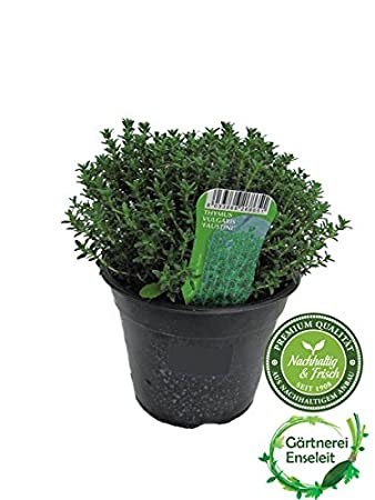 Thymian Pflanze, Italienischer Thymian Im 15cm Topf, Frische ... Krauter Pflanzen Topf Anbauen