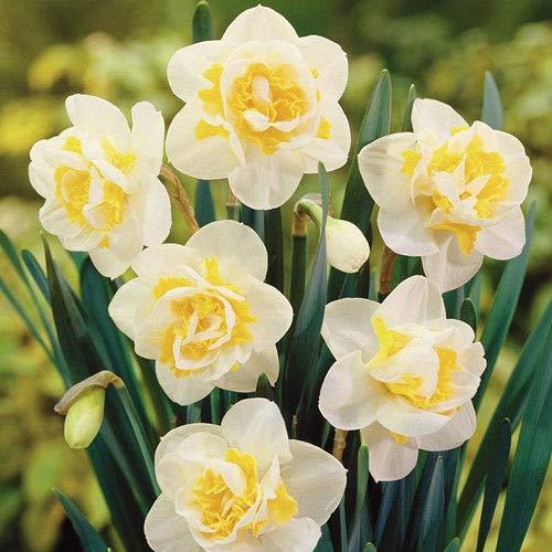 Narzisse Seeds Narcissus Blumenzwiebeln Gemischte 100Pcs Aquatic Bonsai-Hausgarten Portal Cool 10