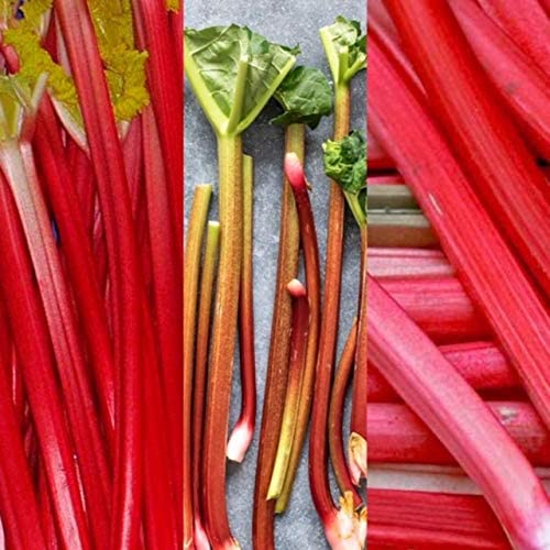 Pack of 2 Rhubarb Victoria Plants in 1 litre pots British Grown