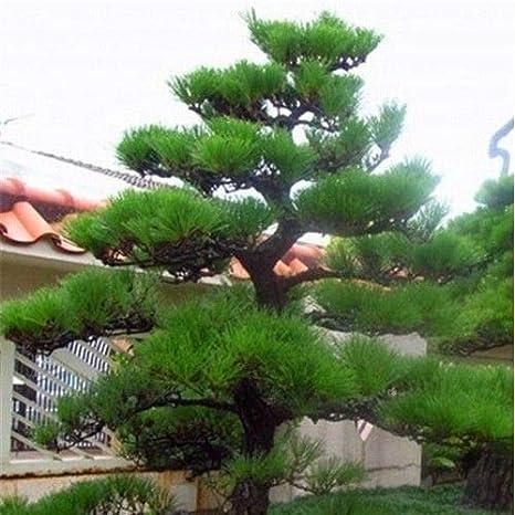 Резултат с изображение за chinese red pine