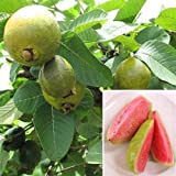 9EzTropical - Guava 'Ruby Supreme' (Psidium guajava) - 2 to 3 Feet Tall - Ship in 1 Gal Pot
