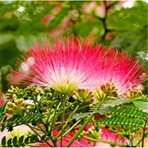 Bonsai an acacia Seeds 100pcs multi-Colored Flower Seeds Novel Plant for DIY Garden