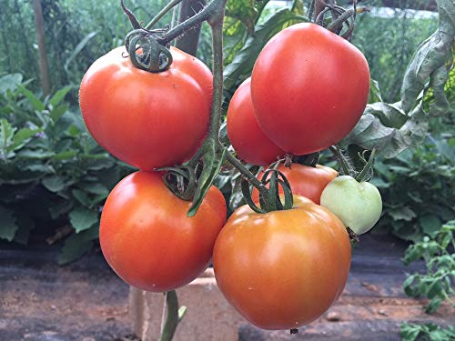 David's Garden Seeds Tomato Slicing New Girl 4242 (Red) 25 Non-GMO, Organic, Hybrid Seeds ()