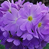 100 Pcs Blue Evening Primrose Flowers Colorful Mixed Seeds Bonsai Plant Garden Balcony Ornamental Home Primula Malacoides Flower Light Purple
