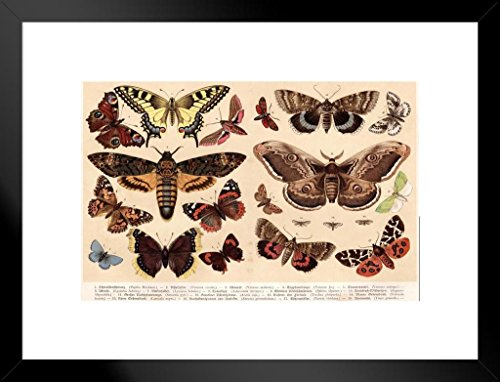 Poster Foundry Moths and Butterflies 1888 Vintage Illustration Art Print Matted Framed Wall Art 26x20 ()