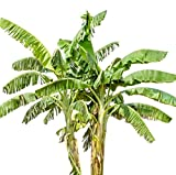 Musa Basjoo Banana Plant Tree COLD HARDY TROPICAL Live Plant Ornamental