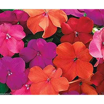Impatiens Seeds - XTREME TANGO MIX- ideal for Baskets, Containers & window boxes (200 Seeds) : Garden & Outdoor