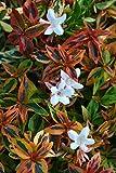 1 Starter Plant of Kaleidoscope Dwarf Abelia - 3 Gallon
