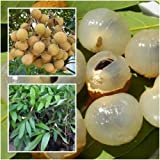 Longan Tree Plant Grafted Tall 22'' Fruit Delicious Tropical For Grow Thailand
