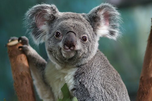 Koala Collectible Art Print, Wall Decor Travel Poster