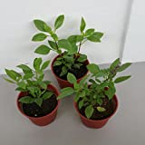 BASIL THAI Live Plant Vietnamese Hung Que Plant - Herb Live Plants Fit 1 Gallon Pot