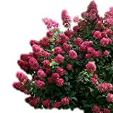 Fire Light Hydrangea - Proven Winners - Live Plant - Quart Pot