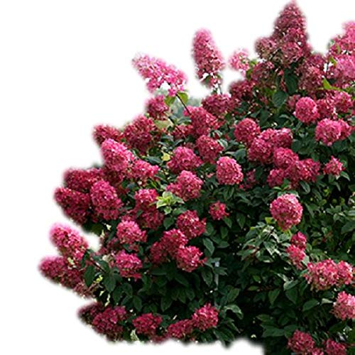 Fire Light Hydrangea - Proven Winners - Live Plant - Quart Pot by Amazing Plants