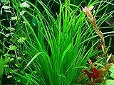 Hot Sale! 100 CYPERUS HELFERI Seeds - Aquarium Grass Aquatic Plant Fish Tank Decor