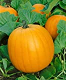Jack O' Lantern Pumpkin Seeds - Cucurbita Pepo - 4 Grams - Approx 30 Gardening Seeds - Vegetable Garden Seed