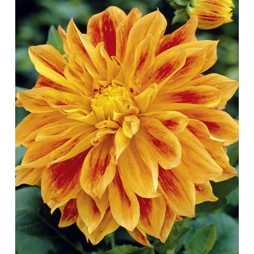 Sun Explosion Decorative Dahlia - 2 Bulb Clumps- NEW!