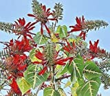 Seeds Erythrina Variegata Tiger's Claw Indian Coral Tree Tropical Fresh Seed 10 Seeds
