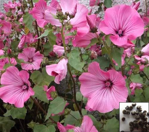 Portal Cool Rose Mallow Mix - Lavatera Trimestris - 150 Seeds - Flower #865 ()