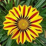 200PCS Gazania rigens seeds Flowers Seeds For Bonsai Garden Balcony 2015 Semillas Gazania Splendens Chrysanthemum