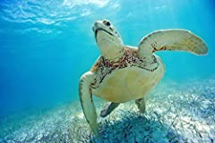 Mexico Yucatan Peninsula Green Sea Turtle (Chelonia Mydas) An Endangered Species. is a licensed reproduction that was printed on Premium Heavy Stock Paper which captures all of the vivid colors and details of the original. The overall paper s...