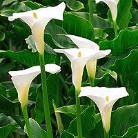 Bulbos de flores de ALTA CALIDAD para una