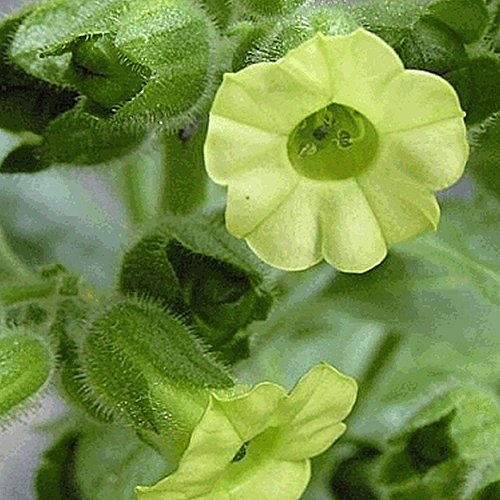 Everwilde Farms - 600 Midewiwan Sacred Tobacco Wildflower Seeds - Gold Vault Jumbo Seed Packet