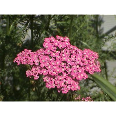250 PINK CERISE QUEEN YARROW Achillea Millefolium Flower Seeds : Flowering Plants : Garden & Outdoor