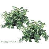 "TWO 18"" Hosta/spider Plant/ivy w/ Basket by Arcadia Silk Plantation"