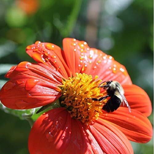 Mexican Sunflower Seeds - Attracts Butterflies and Hummingbirds - Non-GMO