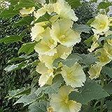 Plentree Seeds Package: Rosea Alcea Pale Yellow Hollyhocks Seeds Edible/Root/Stem/Leaves