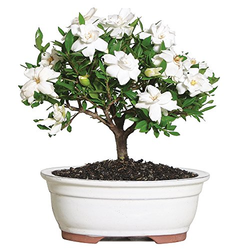 Brussel's Gardenia Bonsai - Medium - (Outdoor) - Not Sold in Arizona
