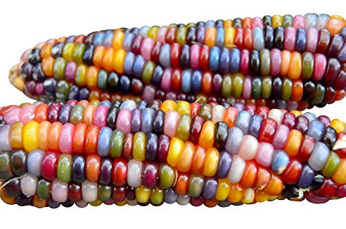 HARLEY SEEDS 100+ Glass Gem Corn Seeds ORGANICALLY Grown Non-GMO Popcorn Delicious Jewel-Toned, Glass-Like Kernels, Grown in USA. Rare! Ornamental and Edible!