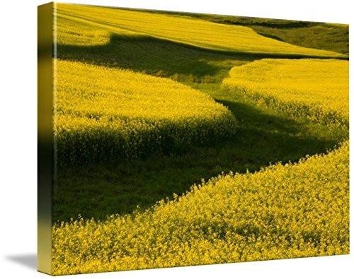Imagekind Wall Art Print entitled Canola Field, Darlington, Prince Edward Island, Ca by Design Pics | 10 x 7