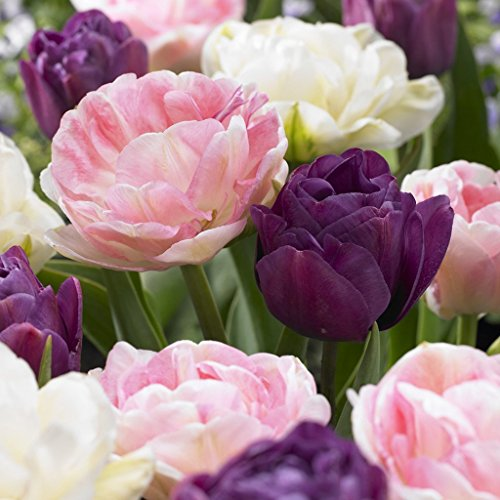 (SILKSART 15 Nice Bulbs! Tulip Bulbs early bloom Perennial Bulbs for Garden Planting Beautiful Flower Tulips Double Peony Blend Set of 15 bulbs)