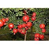 Pomegranate Hybrid Live Plant, Fast Fruiting, Sinduri Variety सिंदूरी अनार