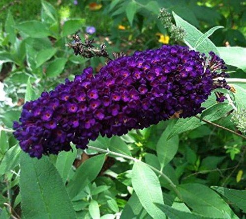 Black Knight Butterfly Bush (buddleia) - Live Plant - Quart Pot by New Life Nursery & Garden