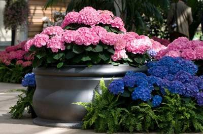 Endless Summer Hydrangea- Large, Well-Developed Plants for Instant Hydrangea Blooms (not Seeds, quarts or saplings)- The Most Popular Hydrangea Macrophylla - 2 Gallon by Brighter Blooms (Image #1)